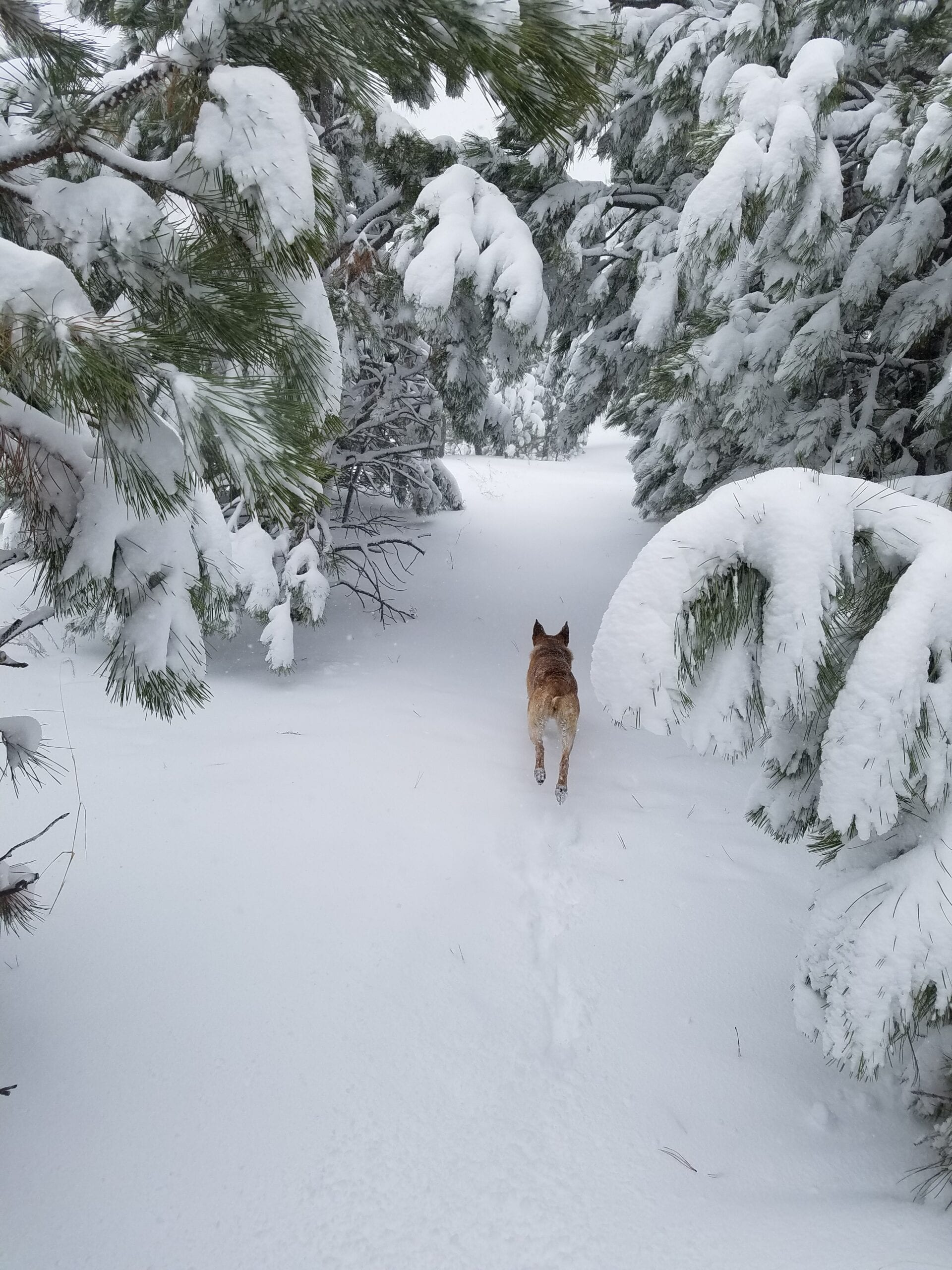 dog running in snow through snow covered ponderosa pines in colorado springs